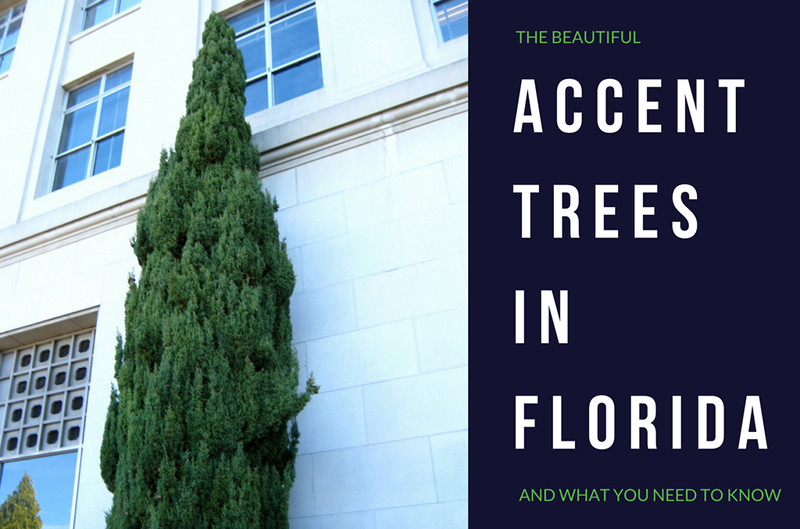 Accent Trees in Florida