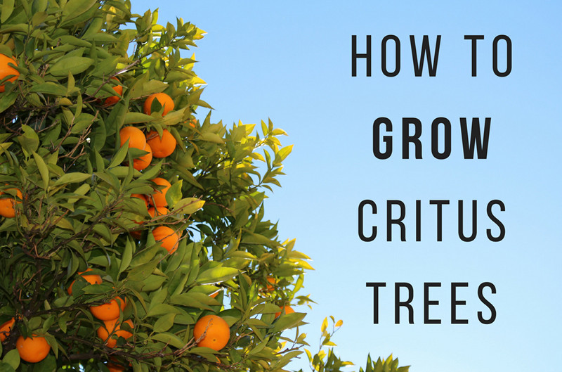 How to Grow Citrus Trees - Anglin Brothers Tree Service - Central Florida