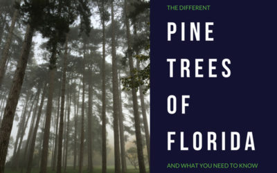 Pine Trees Found in Florida
