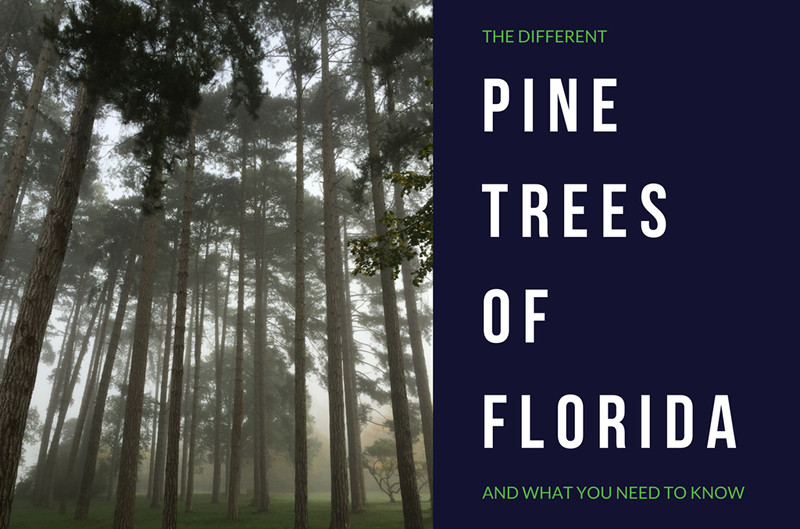 Pine Trees Found in Florida - Anglin Brothers Tree Service - Central FL