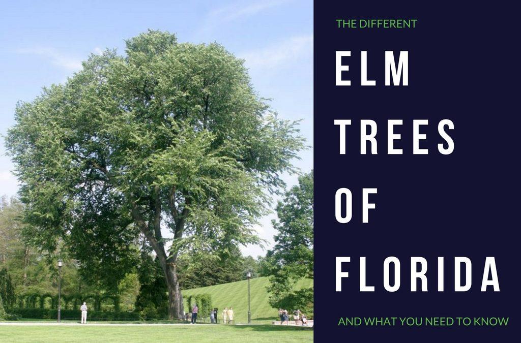 Elm Trees in Florida