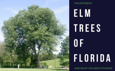 Elm Trees in Florida