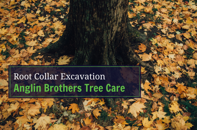 What is Root Collar Excavation