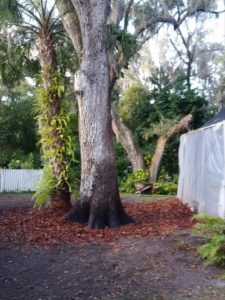ISA Board Certified Master Arborist | Anglin Brother's Tree Care | Lakeland FL | Healthy Roots | Benefits of Mulching Your Trees