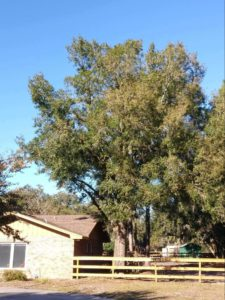 ISA Board Certified Master Arborist | Anglin Brother's Tree Care | Lakeland FL | Healthy Roots | Healthy and Unhealthy Pruning