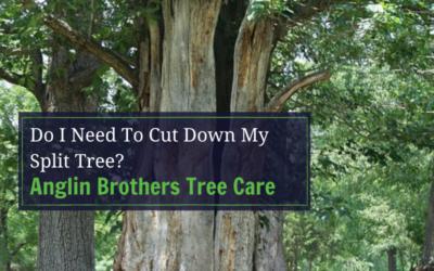 Do I Need To Cut Down My Split Tree?